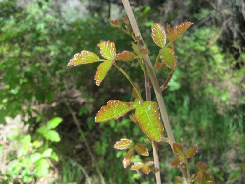 Poison oak / To... Poison Oak Whole Plant