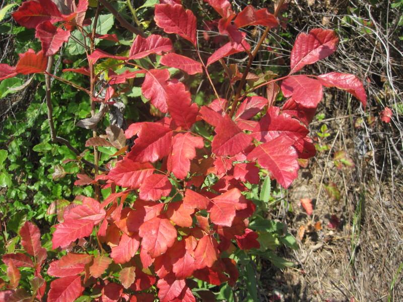 Dan S Hiking Pages Poison Oak Toxicodendron Diversilobum